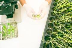 科学家研究五谷在实验室里改进了米品种 免版税图库摄影