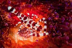 科尔曼虾,火海胆在安汶,马鲁古,印度尼西亚水下的照片 免版税库存图片