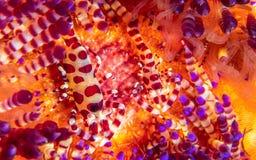 科尔曼虾,Periclimenes colemani,在火野孩子,Astropyga radiata 免版税库存照片