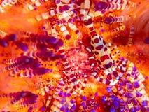 科尔曼虾,Periclimenes colemani,在火野孩子,Astropyga radiata 图库摄影
