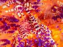 科尔曼虾,Periclimenes colemani,在火野孩子,Astropyga radiata 免版税库存图片
