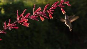 科斯塔的蜂鸟和红色丝兰花 影视素材
