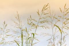 稻科植物类草 免版税图库摄影