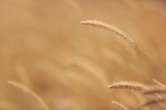 稻科植物类草 免版税库存照片