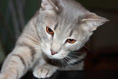 科涅克白兰地猫 库存照片