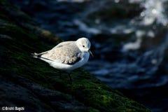 科珀斯克里斯蒂海滩鸟  免版税库存照片