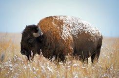 科罗拉多北美野牛 库存图片