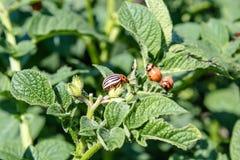 科罗拉多在土豆叶子的薯虫幼虫 农业植物的虫 科罗拉多薯虫吃土豆叶子 免版税库存图片