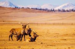 科罗拉多山麋 免版税库存图片