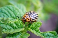 科罗拉多甲虫吃土豆叶子 农业庄稼的虫 库存图片
