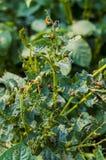科罗拉多甲虫吃土豆叶子 免版税库存图片