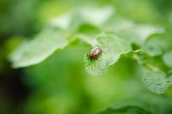 科罗拉多甲虫吃绿色土豆叶子 库存照片