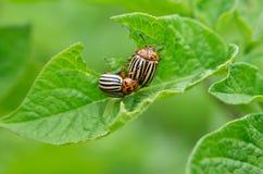 科罗拉多甲虫吃年轻土豆的叶子 虫毁坏在领域的一片庄稼 在野生生物和农业的寄生生物 免版税库存照片