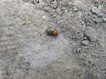 科罗拉多甲虫在地面上爬行 免版税库存图片