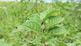 科罗拉多甲虫坐土豆叶子  影视素材