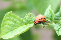 科罗拉多甲虫幼虫 免版税库存照片
