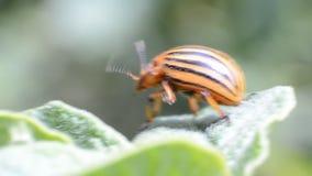 科罗拉多甲虫爬行在土豆叶子 影视素材