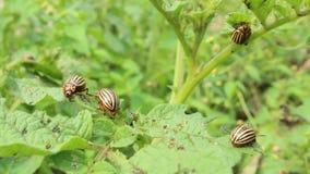 科罗拉多甲虫狼吞虎咽土豆叶子  股票录像