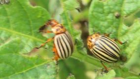 科罗拉多甲虫狼吞虎咽土豆叶子  影视素材