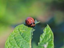 科罗拉多甲虫的幼虫吃土豆绿色叶子  虫的宏观射击茄属植物灌木的 镶边昆虫de 库存照片