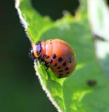 科罗拉多甲虫 免版税库存图片