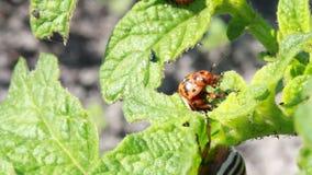科罗拉多甲虫 库存照片