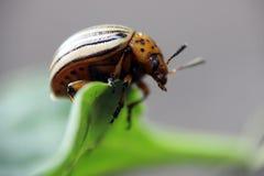 科罗拉多甲虫 免版税库存照片