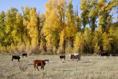 科罗拉多秋天风景-在圣胡安山的牛 免版税库存照片
