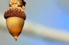 科罗拉多胭脂栎橡子 库存照片