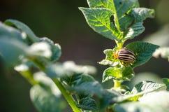 科罗拉多臭虫 宏观虫土豆昆虫 库存照片