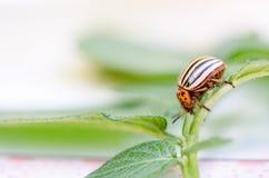 科罗拉多臭虫 宏观虫土豆昆虫 库存图片