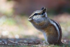 科罗拉多花栗鼠(Neotamias quadrivittatus) 库存照片