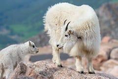 科罗拉多落矶山的野生石山羊 免版税库存图片