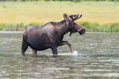 科罗拉多落矶山的Shiras公牛麋 库存图片