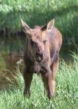 科罗拉多落矶山的Shiras麋 免版税库存照片