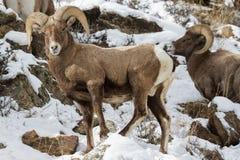 科罗拉多落矶山脉大角野绵羊 免版税图库摄影