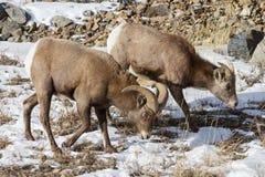 科罗拉多落矶山脉大角野绵羊 库存照片