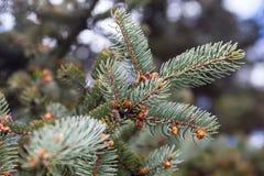 科罗拉多蓝色云杉的分支 免版税库存照片