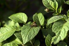 科罗拉多薯虫吃一个开花的土豆的叶子,庭院虫吞食菜 免版税图库摄影