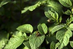 科罗拉多薯虫吃一个开花的土豆的叶子,庭院虫吞食菜 图库摄影