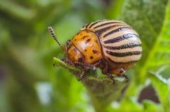 科罗拉多薯虫吃土豆叶子,特写镜头 免版税库存图片