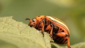 科罗拉多薯虫吃土豆叶子,特写镜头 影视素材