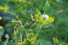 科罗拉多薯虫在土豆领域中间吃土豆叶子  库存图片