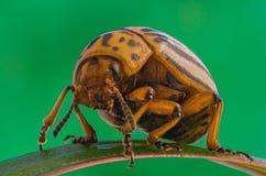 科罗拉多薯虫特写镜头 库存图片