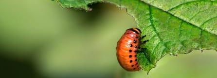 科罗拉多薯虫的红色幼虫吃土豆叶子 文本的空间 Panormic视图 库存图片