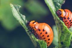 科罗拉多薯虫的红色幼虫吃土豆叶子 免版税库存图片