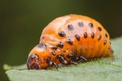 科罗拉多薯虫的红色幼虫吃土豆叶子 库存照片