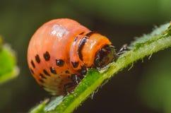 科罗拉多薯虫的红色幼虫吃土豆叶子 免版税库存照片