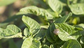 科罗拉多薯虫 库存图片