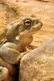 科罗拉多蟾蜍 免版税库存图片